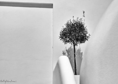 jeune olivier solitaire
